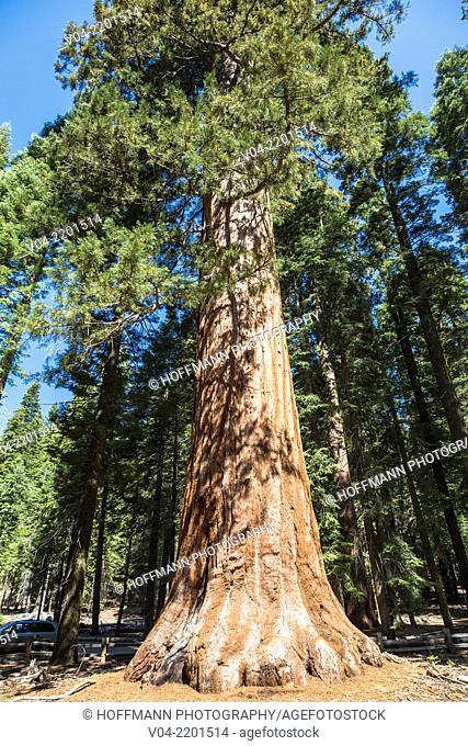 Giant Sequoia tree (Sequoiadendron giganteum) in Mariposa Grove, California, USA