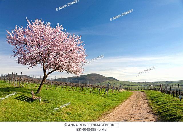 Almond blossom, Almond tree (Prunus dulcis), Southern Palatinate, Palatinate, Rhineland-Palatinate, Germany