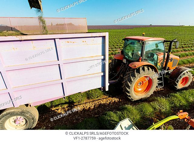 Europe, France,Provence Alpes Cote d'Azur,Plateau de Valensole. Workers begin harvesting first rows of lavender