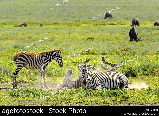 Plains zebra (Equus quagga, formerly Equus burchellii) rolling in the dust. Ngorongoro Conservation Area (NCA). Tanzania