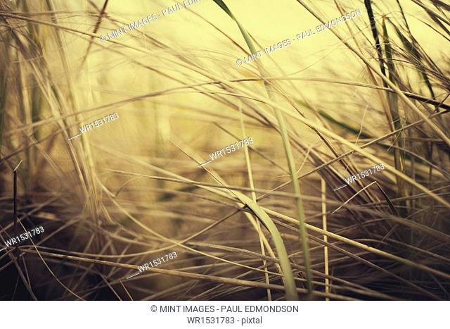 Sea grasses on the sand dunes on Long Beach Peninsula dunes. Close up
