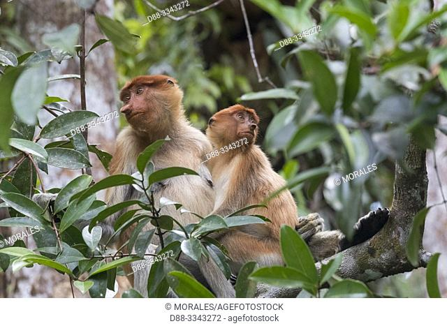 Asia, Indonesia, Borneo, Tanjung Puting National Park, Proboscis monkey or long-nosed monkey (Nasalis larvatus), in a tree