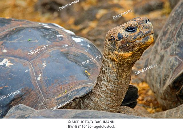 Galapagos tortoise, Galapagos giant tortoise, porteri (Chelonodis nigra porteri, Geochelone elephantopus porteri, Geochelone nigra porteri