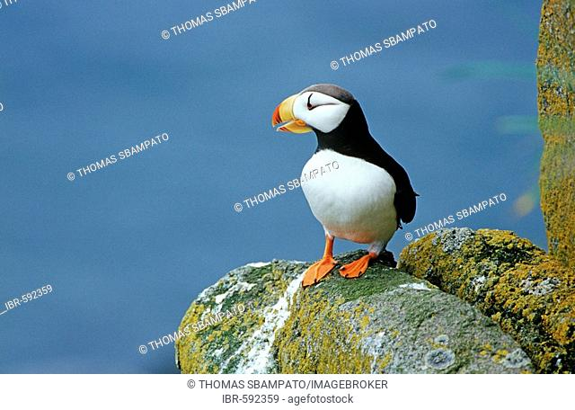 Atlantic Puffins (Fratercula corniculata) on a rock looking out on the sea Alaska