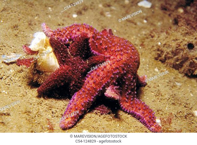 Common Starfish (Asterias rubens) devouring crustacean. Ria of Vigo, Pontevedra province, Galicia, Spain