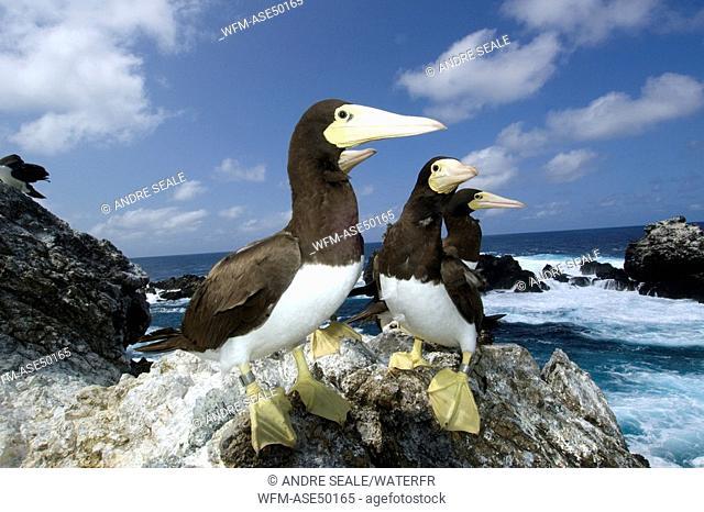 Brown boobies, Sula leucogaster, Saint Peter and Saint Paul Rocks, Atlantic Ocean, Brazil