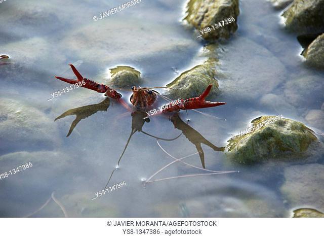 Spain, Mallorca, Cuber Reservoir, American crayfish Procambarus clarkii