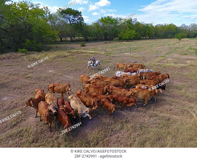 Colombian rancher driving cattle