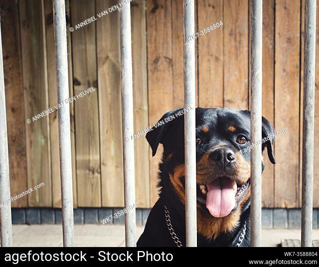 Cute happy dog behind fence, Rottweiler in cage, portrait of beautiful pet locked with wooden background