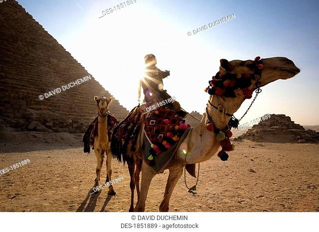A man and two camels going by the Pyramids