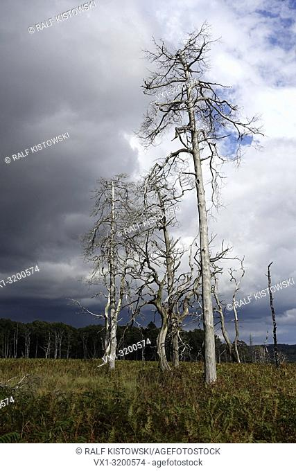 Dead trees / Noir Flohay on the High Fens / Eifel with dark clouds above, approaching a threatening thunderstorm