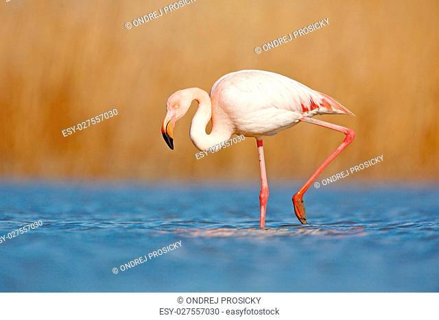 Beautiful pink bir in the water. Greater Flamingo