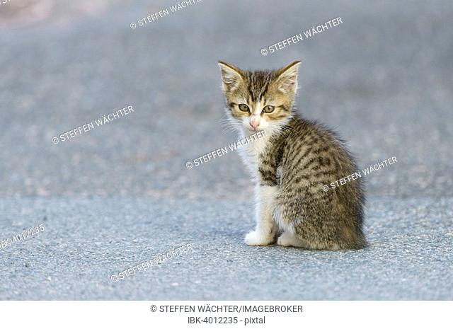 Domestic Cat (Felis silvestris f. catus) kitten sitting on street, Bavaria, Germany