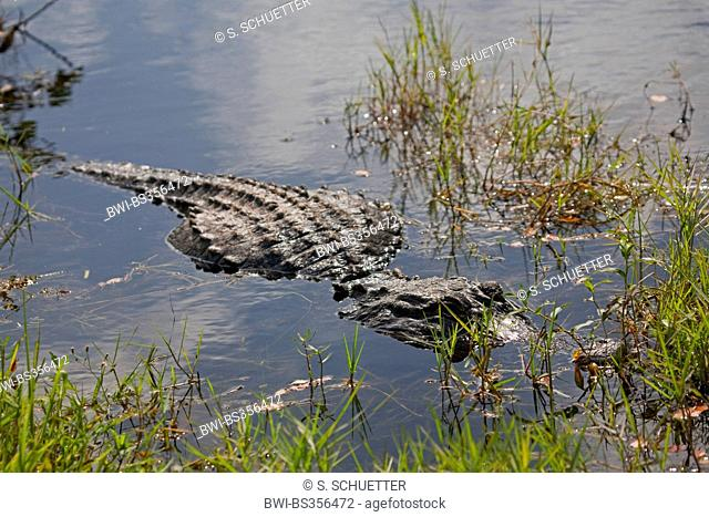 American alligator (Alligator mississippiensis), lying in shallow water, USA, Florida, Everglades National Park