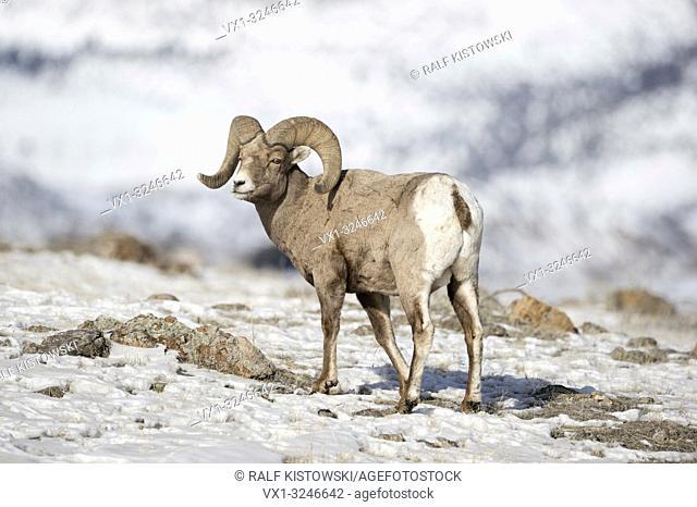 Rocky Mountain Bighorn Sheep / Dickhornschaf ( Ovis canadensis ), male adult, ram in snow, winter, Yellowstone National Park, USA.
