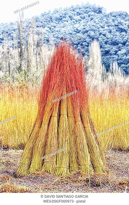Spain, Cuenca, Wicker cultivation in Canamares in autumn
