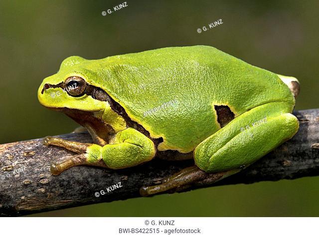 European treefrog, common treefrog, Central European treefrog (Hyla arborea), sitting on a branch, side view, Austria