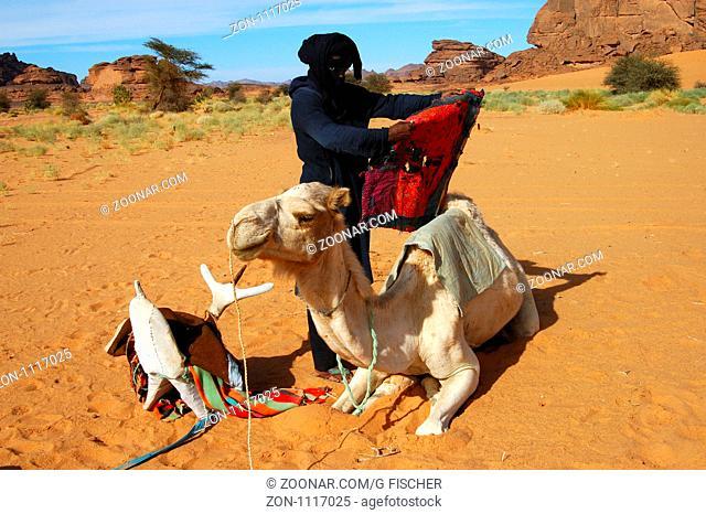 Tuareg Mann sattelt ein weisses Mehari-Reitdromedar in der Wüste, Sahara, Libyen / Tuareg man saddling a white Mehari Dromedary in the desert, Sahara desert