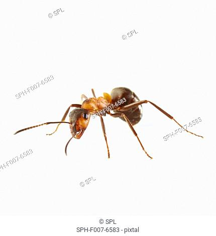 Wood ant (Formica sp.)