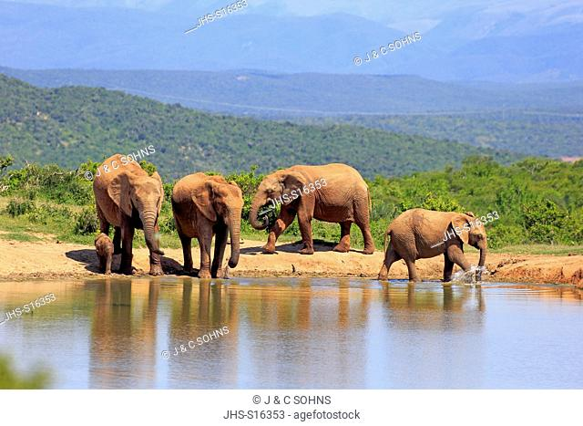 African Elephant, (Loxodonta africana), herd with young at waterhole, Addo Elephant Nationalpark, Eastern Cape, South Africa, Africa