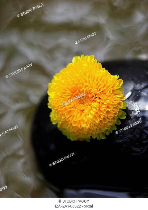 Close-up of a flower on a stone chrysanthemum