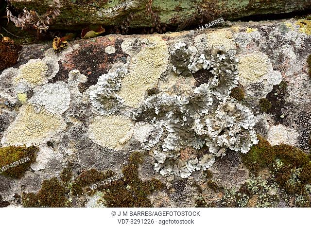 Lichen community on a siliceous rock with Ochrolechia, Parmelia, Tephromela, etc. This photo was taken in Arribes del Duero Natural Park, Salamanca province