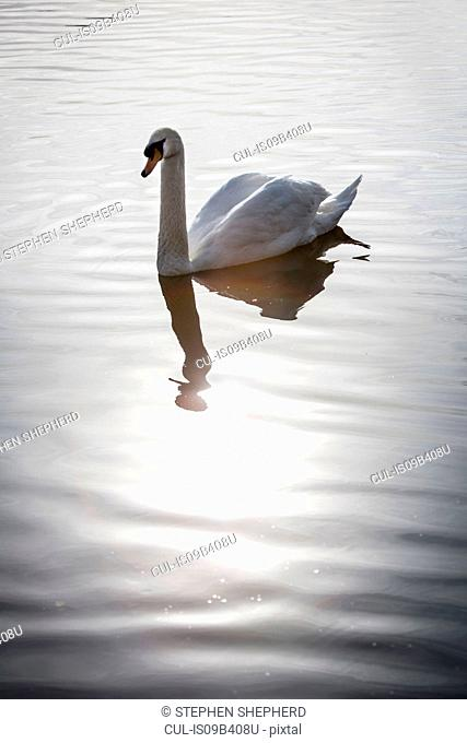 Swan on calm water