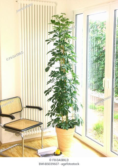 dwarf schefflera (Schefflera arboricola), potted plant in an appartment