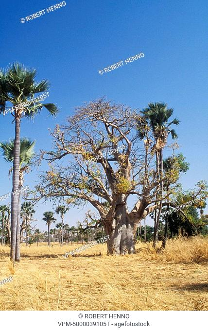 ADANSONIA DIGITATABAOBABSENEGAL