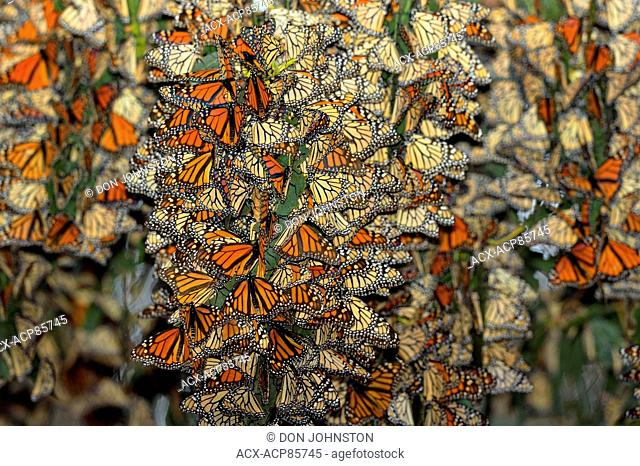Monarch (Danaus plexippus) Winter colony roosting in eucalyptus tree, Pismo Beach State Park, California, USA