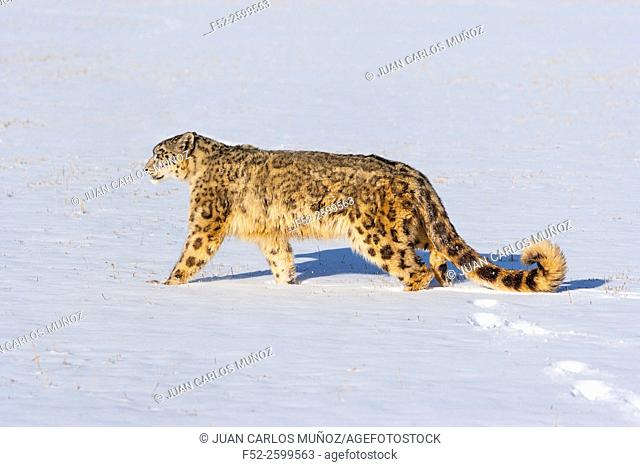 Snow leopard (Panthera uncia). Colorado, Usa