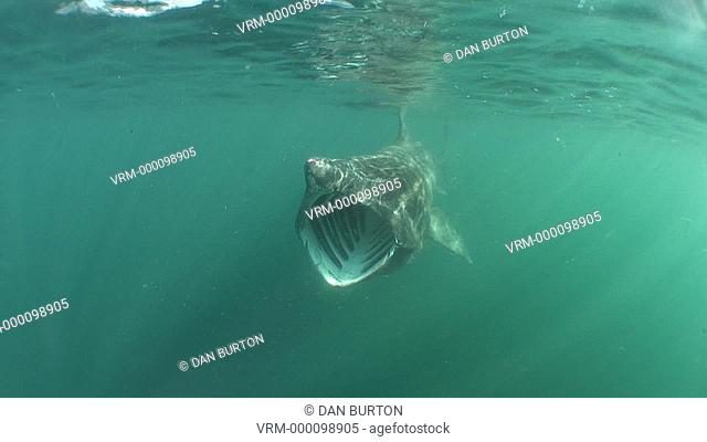Basking shark, Cetorrhinus maximus, feeding. Sennen Cove, Cornwall, U.K