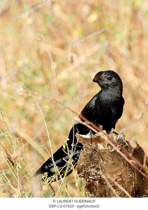 Bird, Anu-black, Lençois, Atins, Maranhão, Brazil