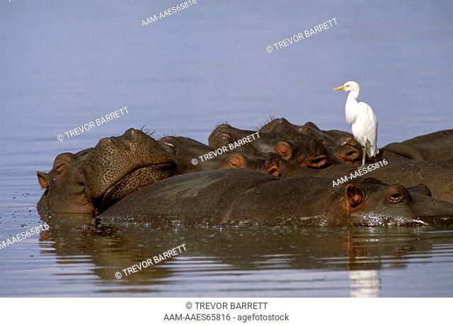 Hippo and Cattle Egret (Hippopotamus amphibius) Mkuzi GR, Natal, SA