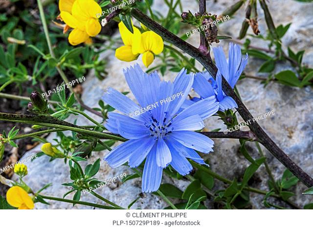 Common chicory / blue daisy / blue dandelion / blue weed (Cichorium intybus) in flower