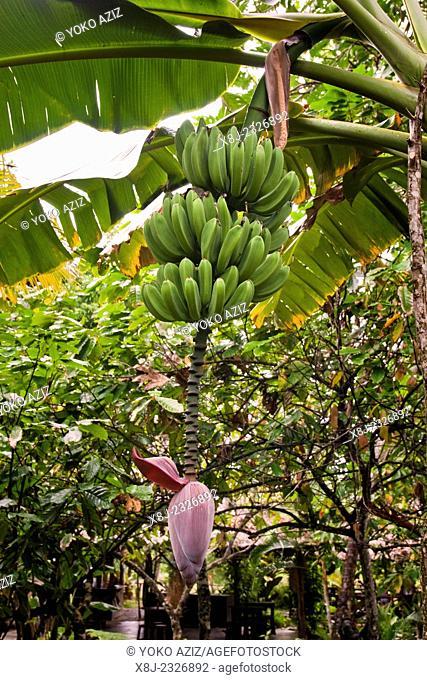 cuba, surroundings of baracoa, bananas