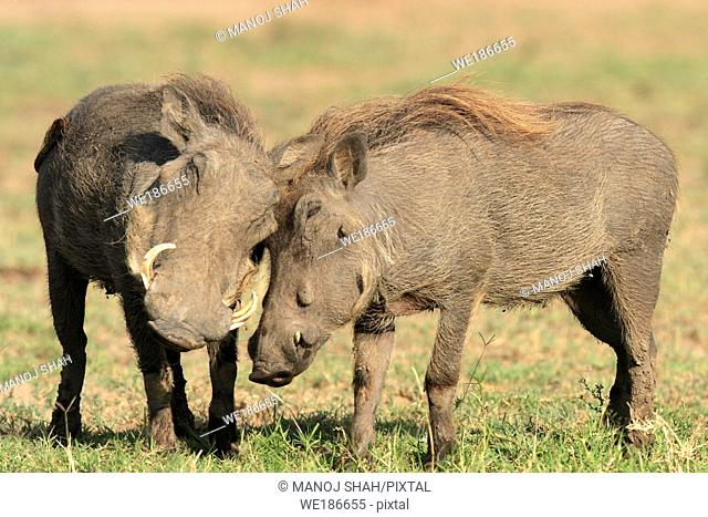 Warthogs greet each other by touching their heads