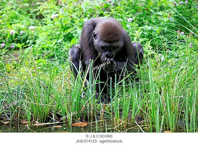 Lowland Gorilla, (Gorilla gorilla), young drinking, Africa
