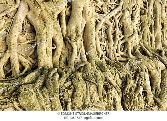 Banyan Tree roots, Fasiladas Bath, UNESCO World Heritage Site, Gonder, Gondar, Amhara, Ethiopia, Africa