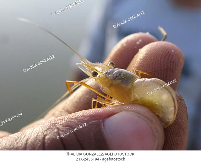 River Shrimp, Crustaceae, Guarico State, Venezuela