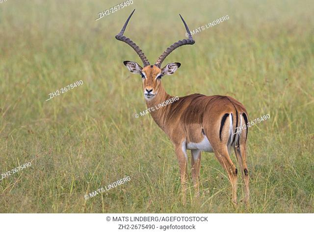 An Impala antelope standing on the savanna and turning his head towards the camera and looking in to the camera, Masai mara, Kenya, Africa