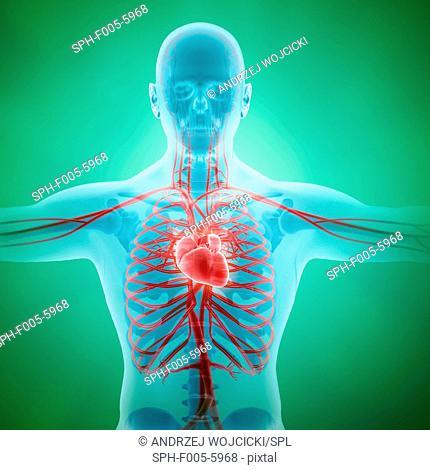 Healthy cardiovascular system, computer artwork