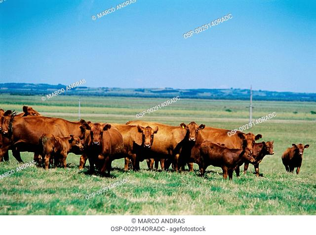 brown cattle having pasture