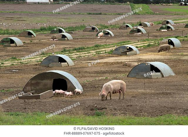 Free range pigs sow with piglets and arc