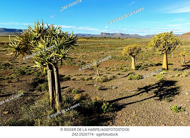 Quiver tree Aloe dichotoma or kokerboom forest. Nieuwoudtville . Northern Cape. South Africa