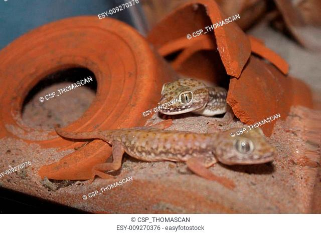 Stenodactylus petrii gecko
