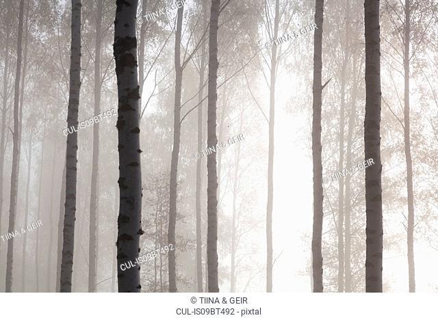 Woodland tree trunks in mist, Lohja, Southern Finland, Finland
