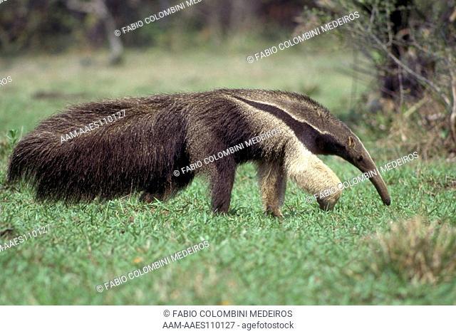 Giant Anteater (Myrmecophaga tridactyla), Pantanal, Brazil