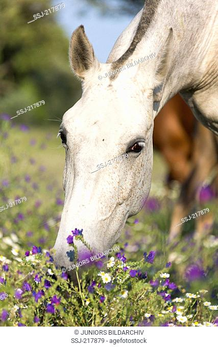 Lusitano. Gray mare grazing on a flowering pasture. Portugal