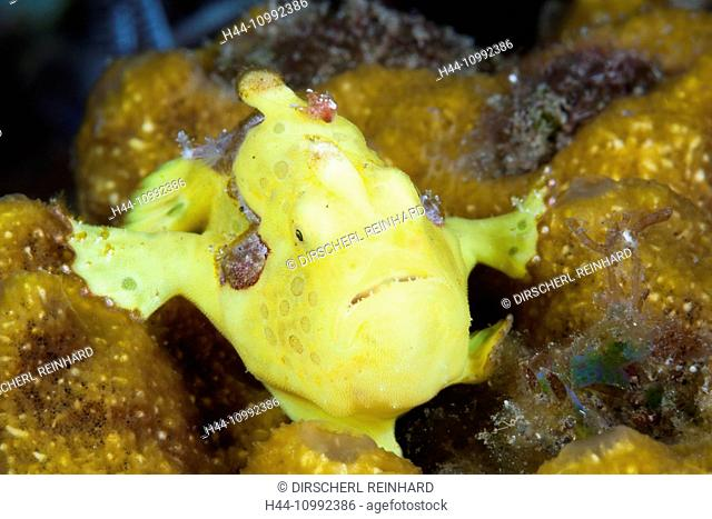 Yellow Spotted Frogfish, Antennarius pictus, Bali, Indonesia